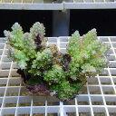 【サンゴ現物190】フィジー ミドリイシ !15時までのご注文で当日発送 べっぴん珊瑚祭り対象