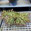 【サンゴ現物197】フィジー ミドリイシ !15時までのご注文で当日発送 べっぴん珊瑚祭り対象
