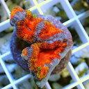【サンゴ現物35】オーストラリア産 カクオオトゲ! 15時までのご注文で当日発送 【サンゴ】