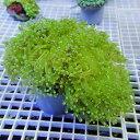 【サンゴ現物22】タコアシサンゴ!15時までのご注文で当日発送 【サンゴ】