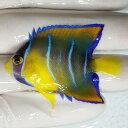 【現物36】クイーンエンゼル 5.5cm± !海水魚 ヤッコ 15時までのご注文で当日発送【ヤッコ】