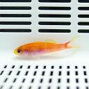 ミナミハナダイ 4-6cm± ! 海水魚 ハナダイ 15時までのご注文で当日発送【PHセール対象】【ハナダイ】