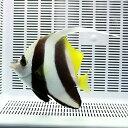 ハタタテダイ 特大サイズ!15時までのご注文で当日発送海水魚 チョウチョウウオ【チョウチョウウオ】