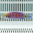 オセレイトラス 4-6cm± ! 海水魚 ベラ 15時までのご注文で当日発送【ベラ】