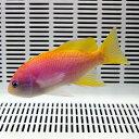 スクリブルドアンティアス メス 9-12cm±! 海水魚 ハナダイ 餌付け15時までのご注文で当日発送【ハナダイ】