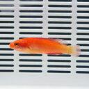 マグマフェアリーラス 6-7cm!海水魚 ベラ 15時までのご注文で当日発送【ベラ】