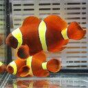 【現物1】スパインチークイエローバンド ペア 7.5-5cm±! 海水魚 クマノミ 15時までの