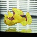 【現物5】クマドリカエルアンコウ 5cm! 海水魚 アンコウ 15時までのご注文で当日発送【カエルア