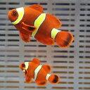 【現物6】スパインチークイエローバンドペア 6-4.5cm± ! 海水魚 クマノミ 15時までのご注文で当日発送【クマノミ】