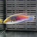 クロヘリイトヒキベラ 海水魚 ベラ 約6-8cm± !15時までのご注文で当日発送【ベラ】
