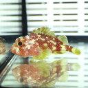 カスリフサカサゴ 4-5cm± カサゴ 海水魚! 15時までのご注文で当日発送【カサゴ】