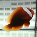 ハマクマノミ雌 6-8cm±! 海水魚 クマノミ 餌付け 【クマノミ】