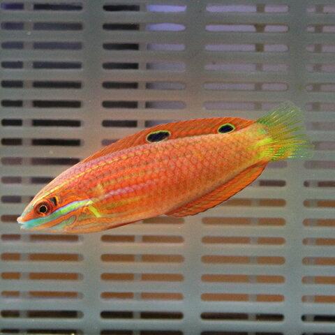 ニシキキュウセン 6-8cm± ! 海水魚 ベラ 餌付け!15時までのご注文で当日発送【ベラ】