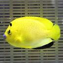 シテンヤッコ 成魚 7-9cm± !海水魚 ヤッコ 餌付け 【PHセール対象】【ヤッコ】