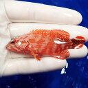 【現物1】ニジハタ 8cm± !海水魚 ハタ 15時までのご注文で当日発送【ハタ】