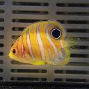 【サンプル】ニシキヤッコベビー 4.5cm以下 !海水魚 ヤッコ15時までのご注文で当日発送【ヤッコ】