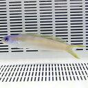 オキナワサンゴアマダイ 12-16cm± ! 海水魚 アマダイ 【15時までのご注文で当日発送】【アマダイ】