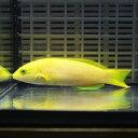 ヤマブキベラ 7-9cm ! 海水魚 ベラ 15時までのご注文で当日発送【ベラ】