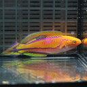 ピンテールフェアリーラス ♂ 6-8cm± ! 海水魚 ベラ 15時までのご注文で当日発送【ベラ】