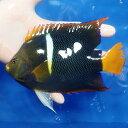 【現物1】パッサーエンゼル 17.5cm± ! 海水魚 ヤッコ 餌付け済 15時までのご注文で当日発送【ヤッコ】