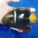【現物2】パッサーエンゼル 15cm± ! 海水魚 ヤッコ 餌付け済 15時までのご注文で当日発送【ヤッコ】
