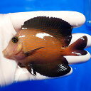 【現物3】シェブロンタン 9cm±!海水魚 ヤッコ 15時までのご注文で当日発送【ヤッコ】