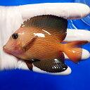【現物4】シェブロンタン 9.5cm± !海水魚 ハギ 15時までのご注文で当日発送【ハギ】