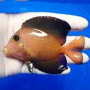 【現物5】シェブロンタン 9.5cm± !海水魚 ハギ 15時までのご注文で当日発送【ハギ】