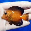 【現物6】シェブロンタン 7cm± ! 海水魚 ハギ 15時までのご注文で当日発送【ハギ】