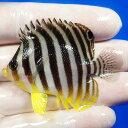 【現物13】 シマヤッコ 5.8cm±! 海水魚 生体 15時までのご注文で当日発送【ヤッコ】