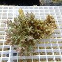 【サンゴ現物14】ミドリイシ !15時までのご注文で当日発送 【べっぴん珊瑚祭り対象商品】
