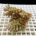 【サンゴ現物15】ミドリイシ !15時までのご注文で当日発送 【べっぴん珊瑚祭り対象商品】