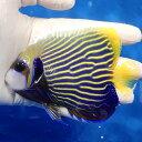 【現物1】タテジマキンチャクダイ 11.5cm±!海水魚 ヤッコ 餌付け 15時までのご注文で当日発送【ヤッコ】