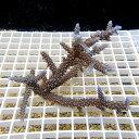 【サンゴ現物23】ミドリイシ !15時までのご注文で当日発送 【べっぴん珊瑚祭り対象商品】