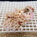 【サンゴ現物3】ミドリイシ !15時までのご注文で当日発送 【べっぴん珊瑚祭り対象商品】