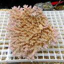 【サンゴ現物4】ミドリイシ !15時までのご注文で当日発送 【べっぴん珊瑚祭り対象商品】