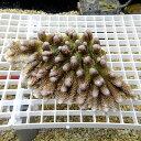 【サンゴ現物6】ミドリイシ !15時までのご注文で当日発送 【べっぴん珊瑚祭り対象商品】