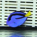 ナンヨウハギ Sサイズ 3.5-4.5cm ! ハギ 海水魚...