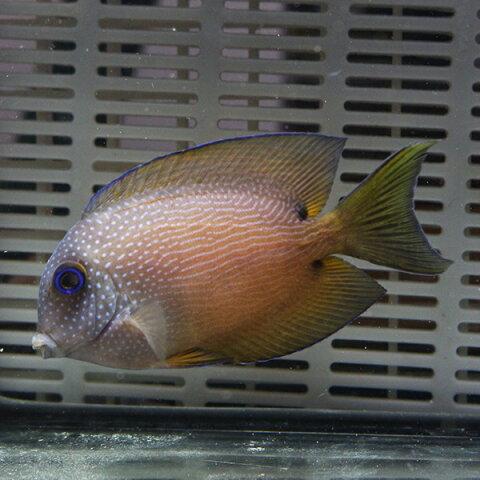 サザナミハギ 6-8cm± 海水魚 ハギ! 餌付け15時までのご注文で当日発送【ハギ】