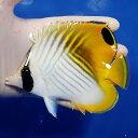 【現物1】トゲチョウ 13cm±! 海水魚 15時までのご注文で当日発送【チョウチョウウオ】