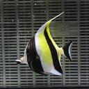 ツノダシ 8-10cm± 1匹 多少ヒレ欠けあり! 海水魚 ...