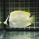 ゴマチョウチョウウオ 7-9cm±! 海水魚 チョウチョウウ...