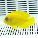ハワイ産レモンピール エンゼル 5-6cm±! 海水魚 ヤッコ 15時までのご注文で当日発送【ヤッコ】