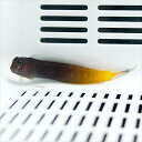 フタイロカエルウオ 5-7cm±! 海水魚 ハゼ 【15時までのご注文で当日発送】【ハゼ】