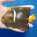 【現物4】パッサーエンゼル 13cm± ! 海水魚 ヤッコ 餌付け済 15時までのご注文で当日発送【ヤッコ】