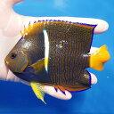 【現物6】パッサーエンゼル 13.5cm± ! 海水魚 ヤッコ 餌付け済 15時までのご注文で当日発送【ヤッコ】