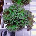 【サンゴ現物9】ウィスカーズコーラル !15時までのご注文で当日発送【サンゴ】