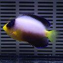 【現物1】マルチカラーエンゼル 6.5cm±! 海水魚 ヤッコ 15時までのご注文で当日発送【ヤッコ】