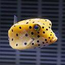 ミナミハコフグ 4-6cm±! 海水魚 フグ 15時までのご注文で当日発送【フグ】
