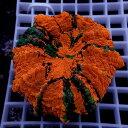 【サンゴ現物2】アザミハナガタサンゴ !15時までのご注文で当日発送 【サンゴ】